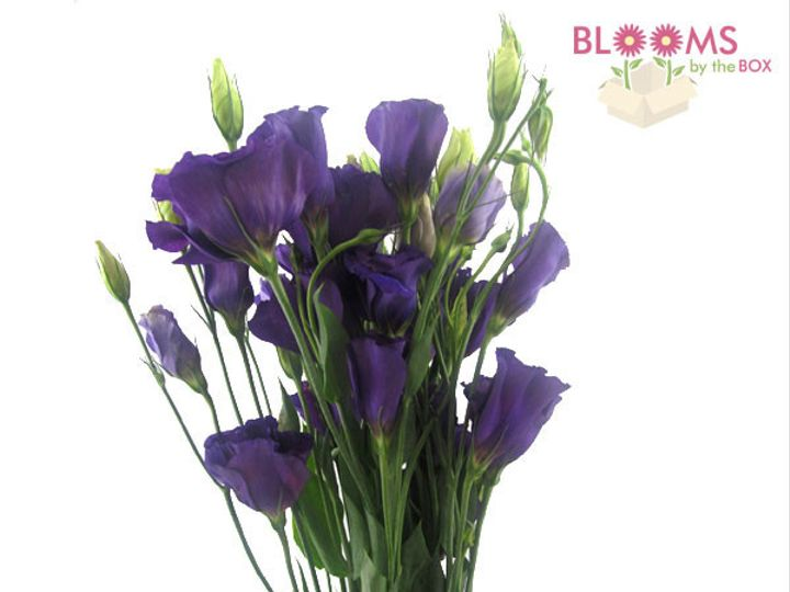 Tmx 1414514387895 Lisianthus Purple Watchung, New Jersey wedding florist