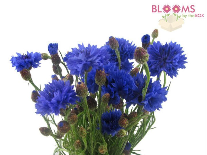 Tmx 1414514454147 Blue Cornflower Watchung, New Jersey wedding florist