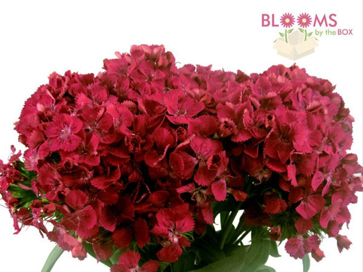 Tmx 1414514467007 Red Gypsy Dianthus Watchung, New Jersey wedding florist