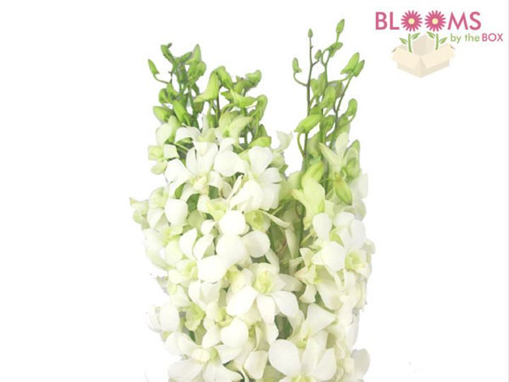 Tmx 1414514511105 White Dendrobium Orchids Watchung, New Jersey wedding florist