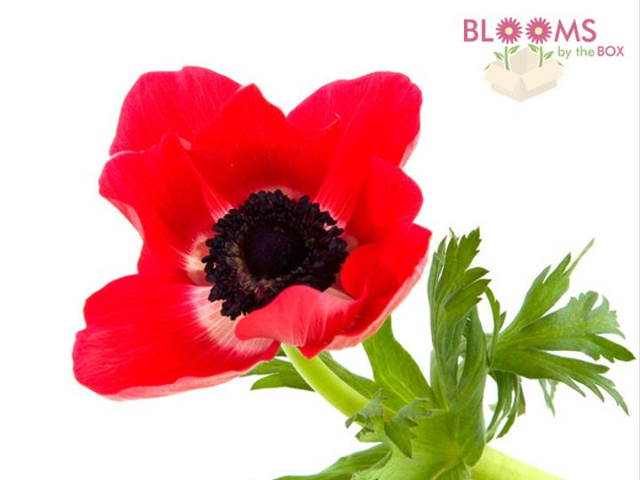 Tmx 1414514981152 Red Anemone Watchung, New Jersey wedding florist