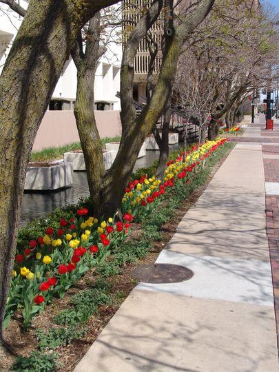 tulips ow