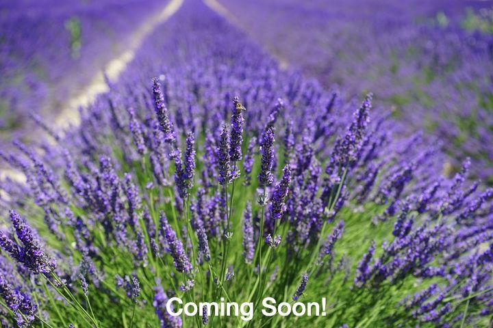 Planting lavender fields 2021