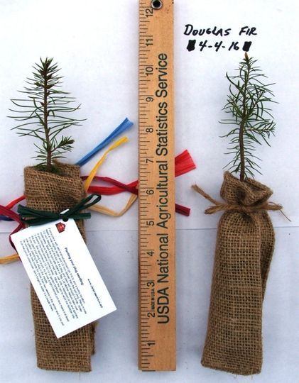 douglas fir in burlap