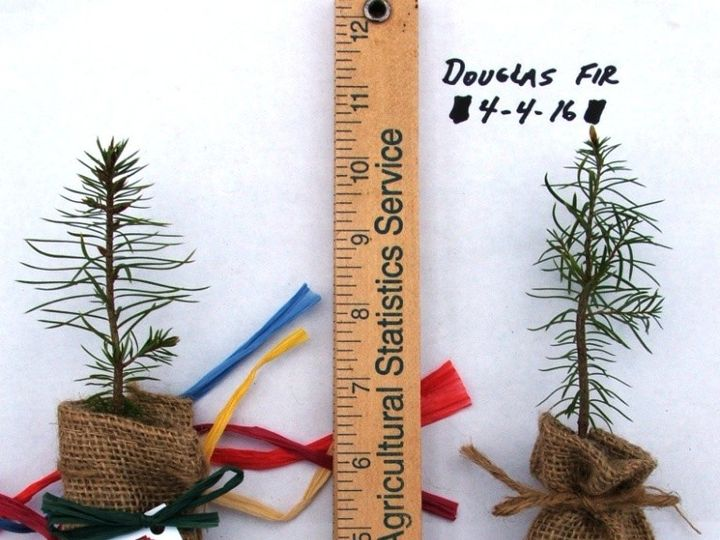 Tmx 1465496385396 Douglas Fir In Burlap Chelsea wedding favor