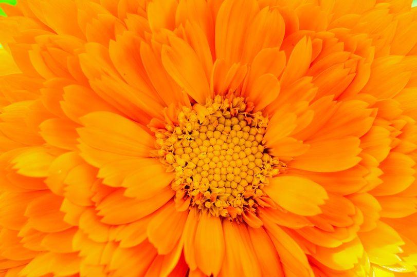 Calendula greenheart orange
