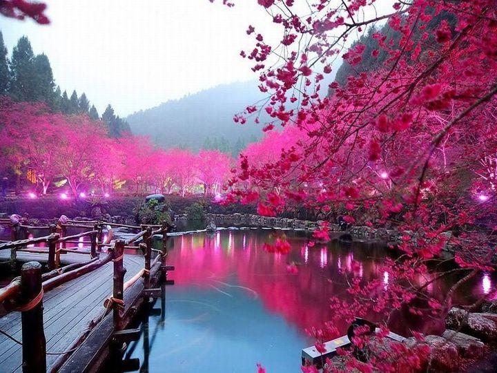 Tmx 1426317756579 Cherry Blossom Lake Sakura Japan Fort Worth wedding travel