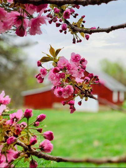 Barn with cherry tree