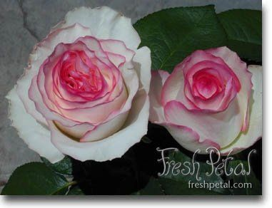 Dolce Vita roses are white with a hot pink edge.