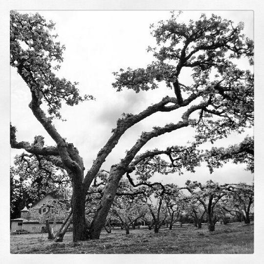black white apple orchard spring wedding