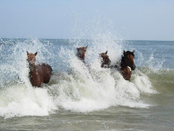 Assateague Surf!  Heard the story of Misty (when you were young)?
