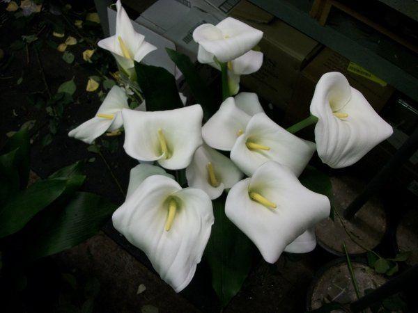 Callas, wonderful large, Maryland grown......