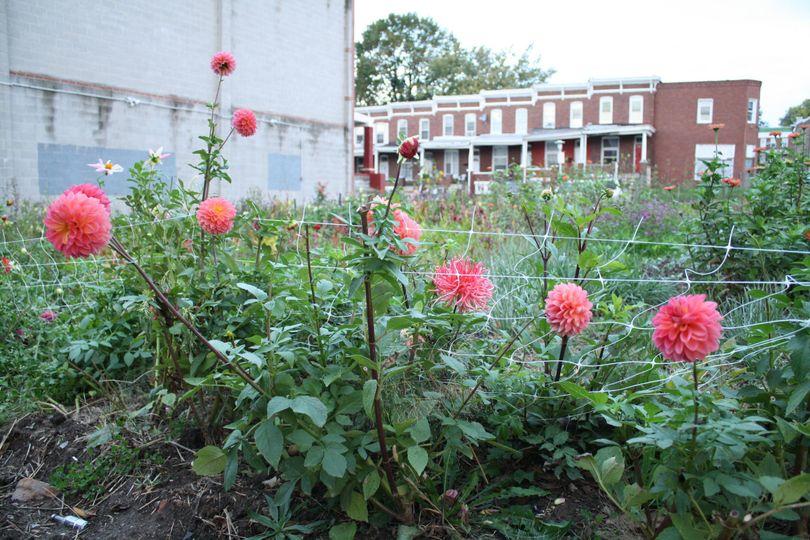 Dahlias in bloom at hillen homestead. Photo by maya kosok