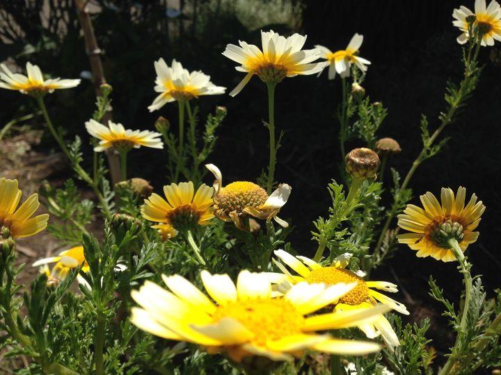 Weller House gardens, edible Chrysanthemum