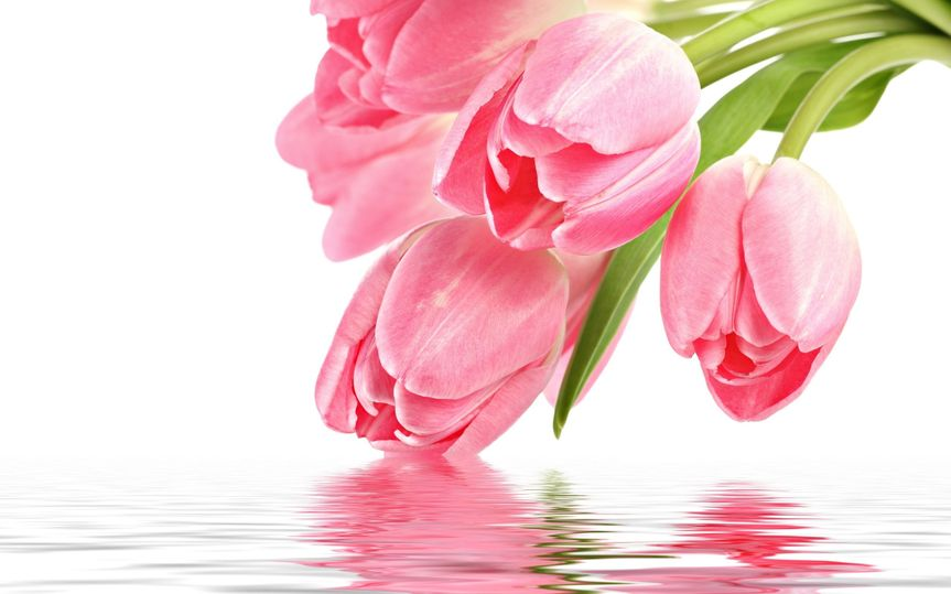 7406bfc4fe3993e0 Tulips pink with water