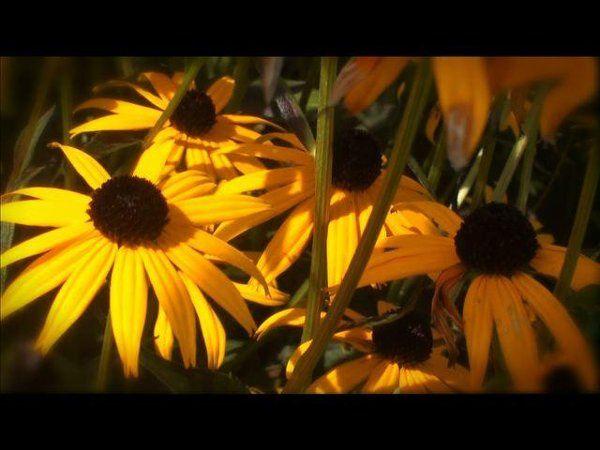 Tmx 1253909198953 Yellowdaisies Unionville wedding videography