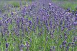 Kingfisher Lavender image