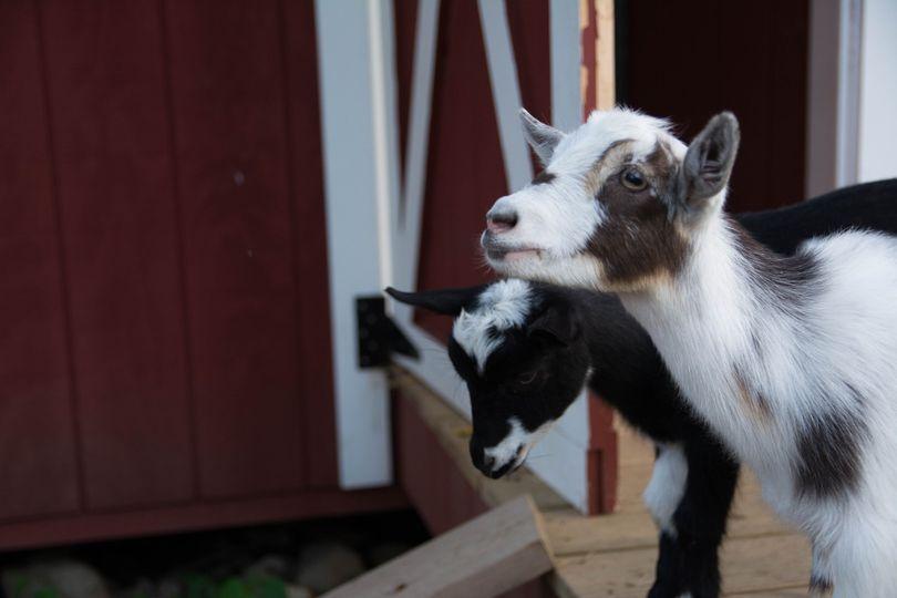 Mini Irish goats for the kids