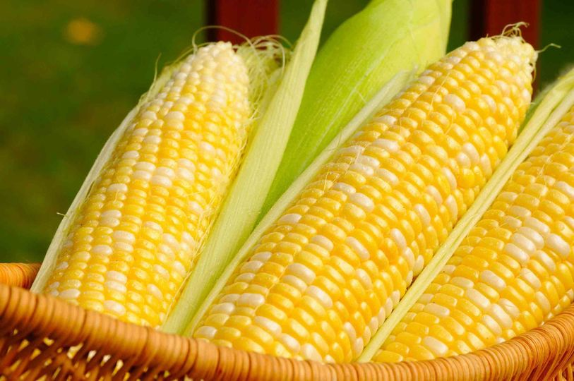 yellow corn hd wallpapers free download 5