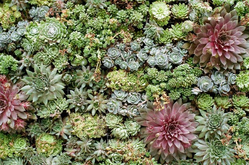 Closeup of succulent living wall used as ceremony backdrop.  Photo by Denise Prince.