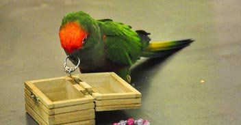 Parrot and wedding ring