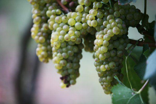 yellow hanging grapes