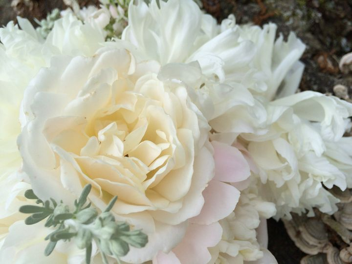 Traditional white peonies with dusty miller