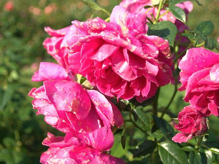 Tmx 1515956243 B80494304e69959d 1515956242 Aa5fc2884b9f5da8 1515956237269 5 Flowers Clifton Park, NY wedding videography