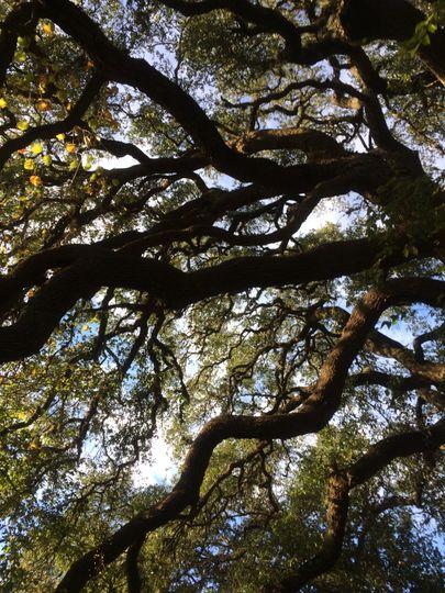 Centennial Live Oak