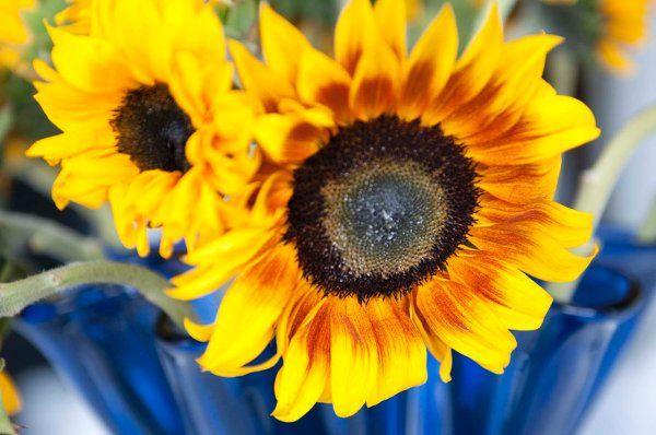 Kady & Chris Sunflowers
