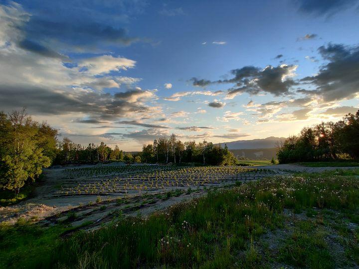 Peony field at sunset
