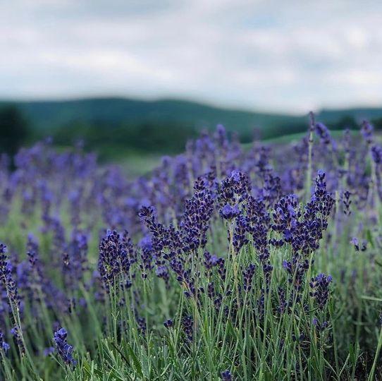 Local lavender fields