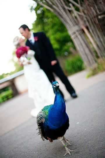 Photo shoot with a peacock