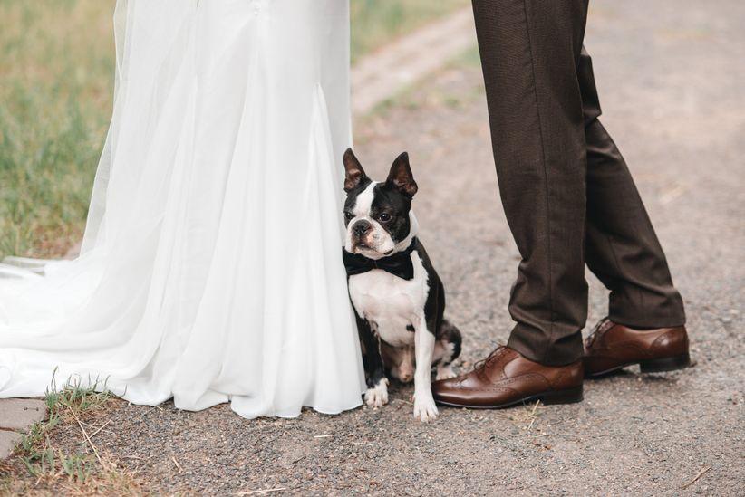 best dog breeds boston terrier