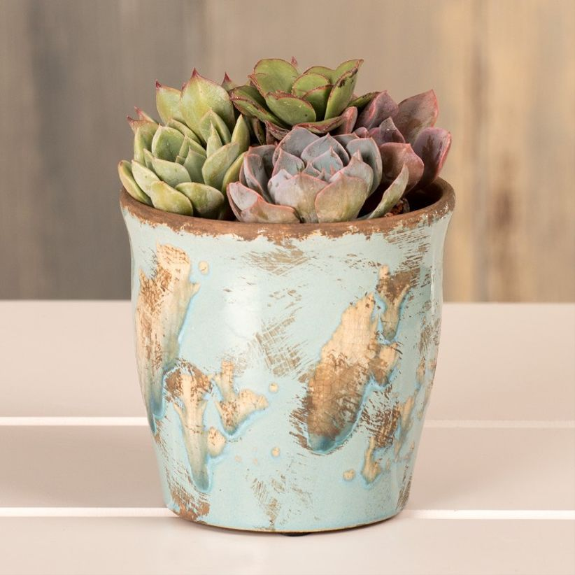 potted succulent plant