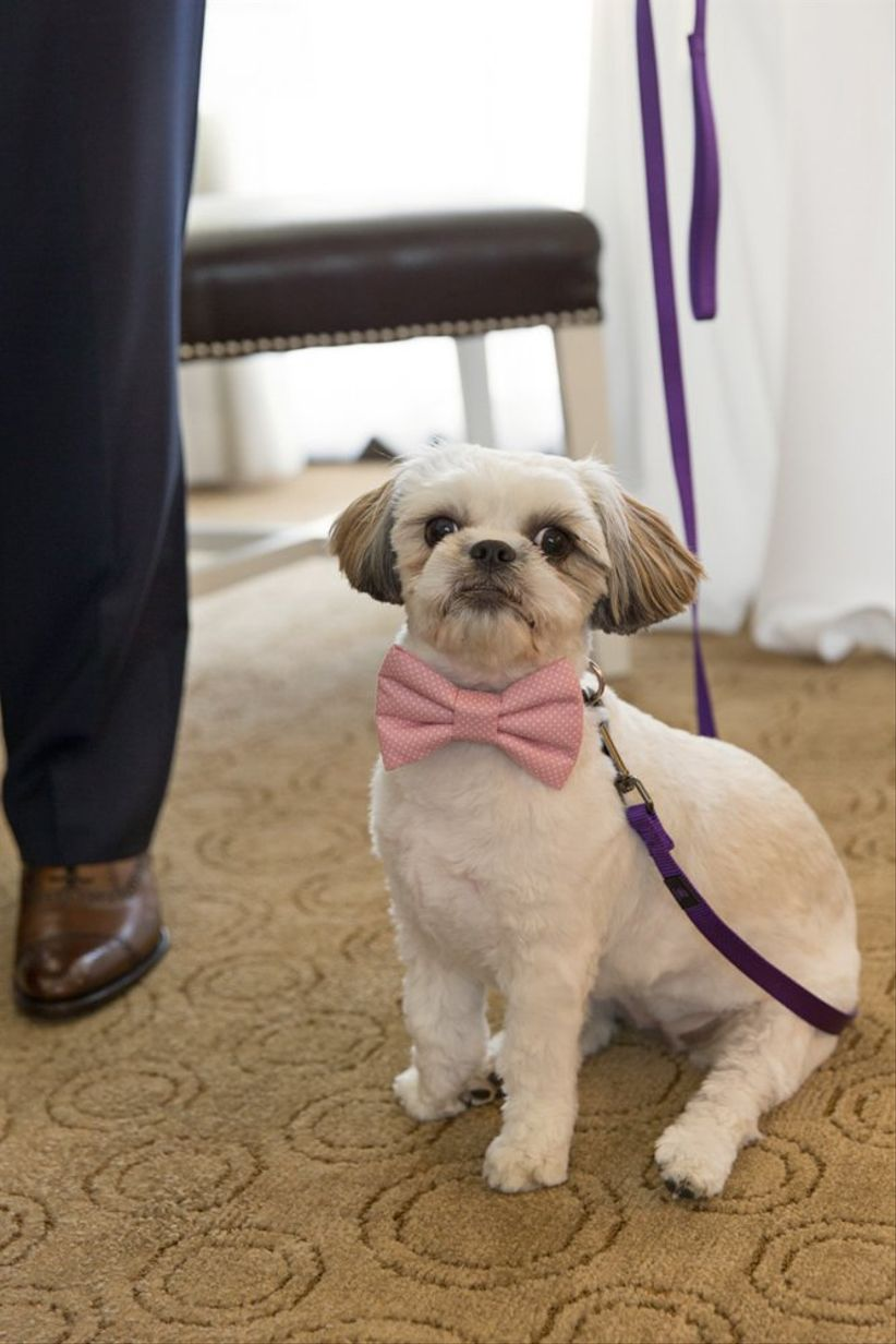 dog wearing pink bow tie