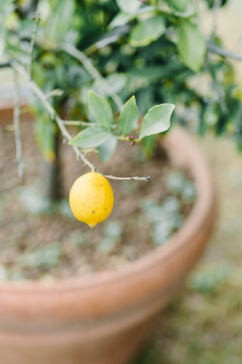 lemon tree - wedding photographer linda pauline