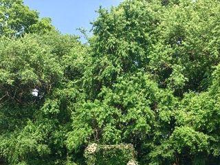 Ruffled Willow 5
