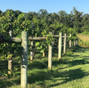 Pleasant Hill Vineyards 10