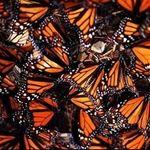 monarchmom