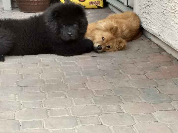 Cutie Chow Chows