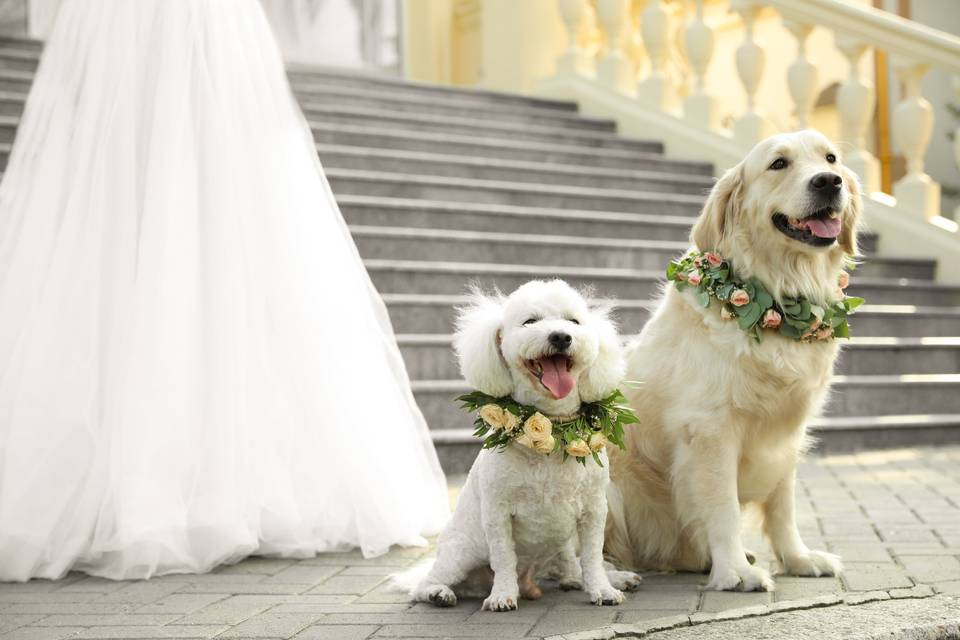 Wedding Dog Sibblings