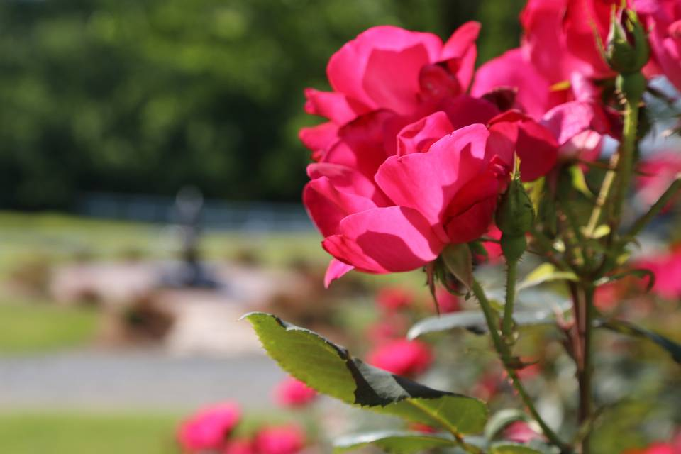 Gardens of roses