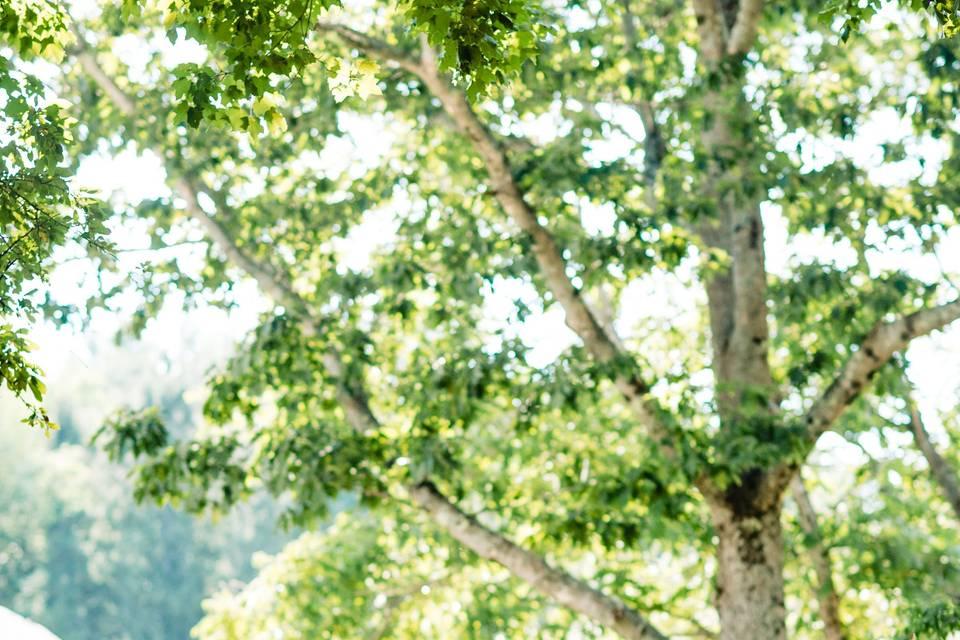 White birch backdrop