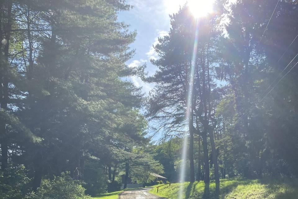Pine tree drive way