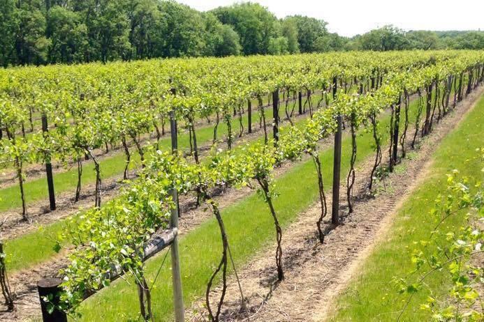 Field vineyard