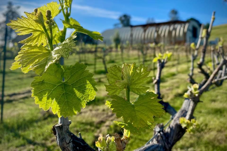 Vineyard scenes