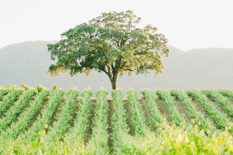 Cabernet Sauvignon vineyeard