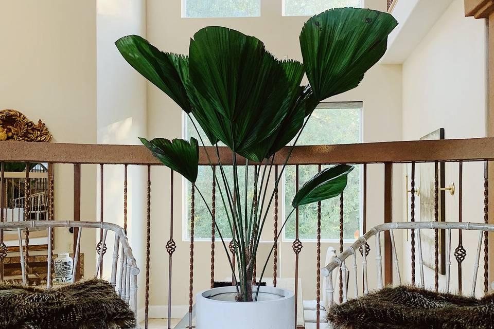 Luxurious Licuala palm