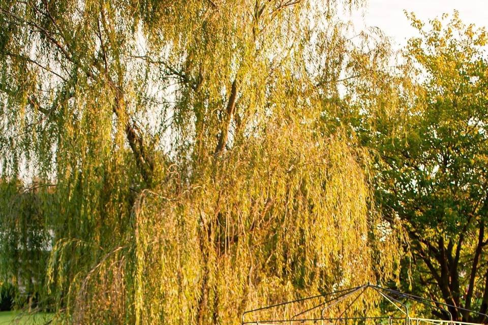 Fall Willows